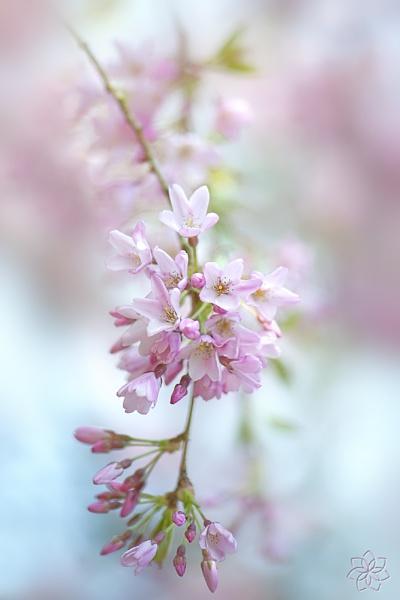 Soft on Blossom by jackyp