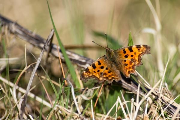 Comma Butterfly by andrewrallye
