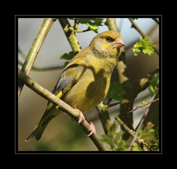 Greenfinch by CarolAnnLauderdale