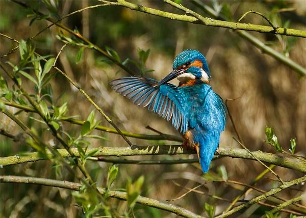 Male Kingfisher (Alcedo atthis) preening by DerekL