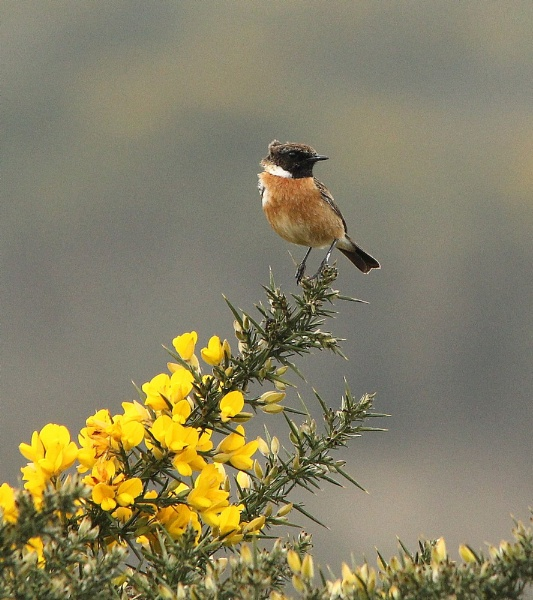 Stonechat on gorse by Glostopcat