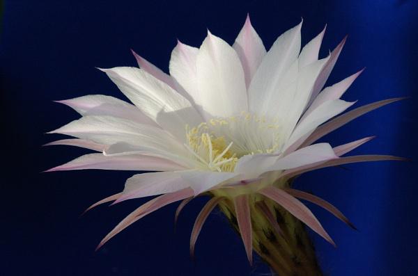 Echinopsis by johnwnjr