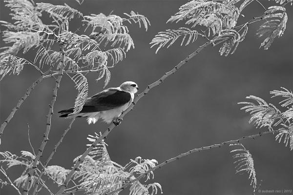 Black -shouldered Kite by subashcr