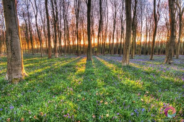wepham forest bluebell sunrise by marcus1976