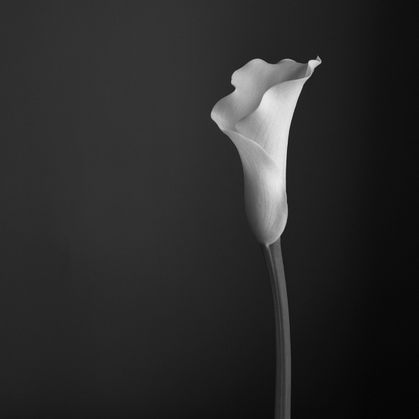 Calla Lily by Andysnapper