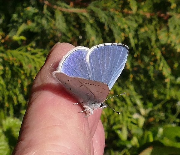 The luck of the leprechauns - female Holly Blue by HobbitDave