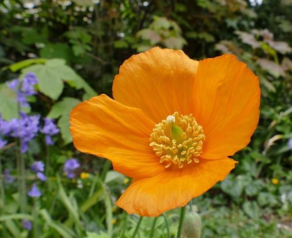 Wild Welsh Poppy by HobbitDave