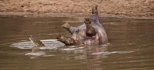 Dead Hippo and Nile Crocodile. by rontear