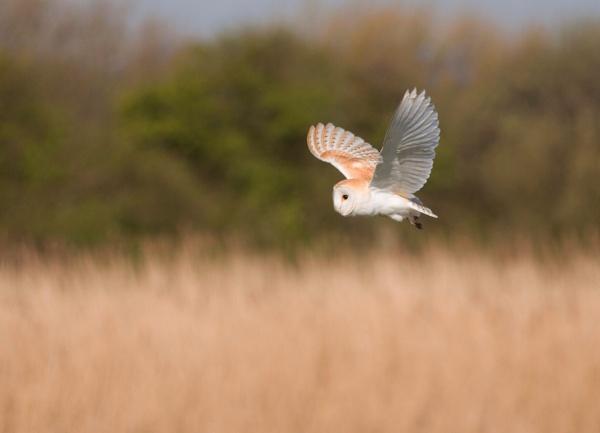 Hunting barn owl by Kingfisher8