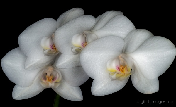Phalaenopsis by Alan_Baseley