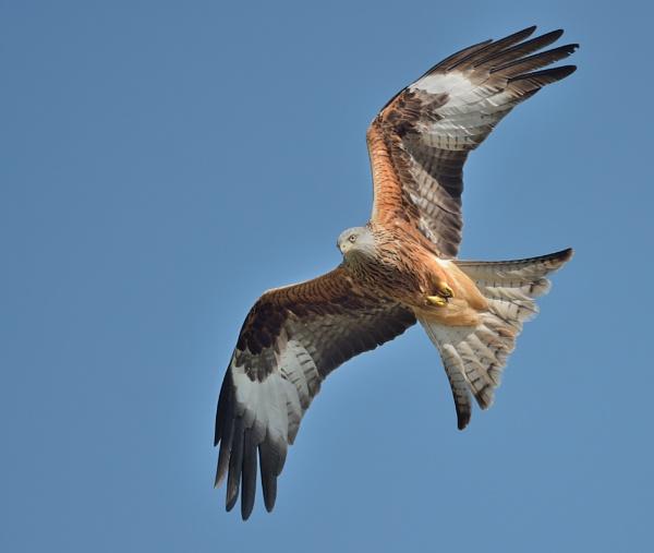 Red Kites by tonyng