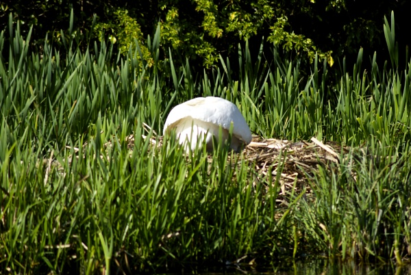 Swan on nest (no mushrooms here) by magicman
