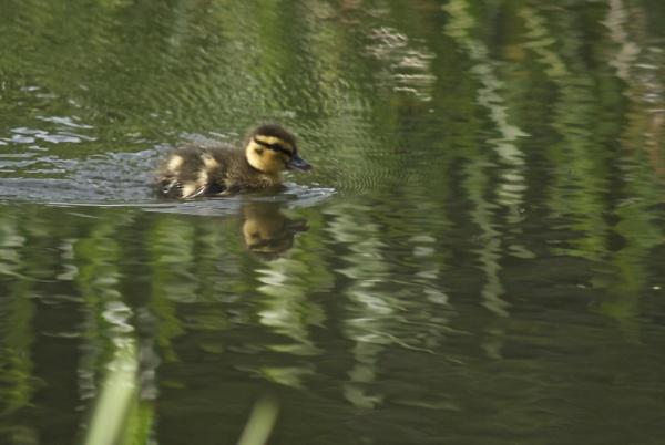 duckling by magicman