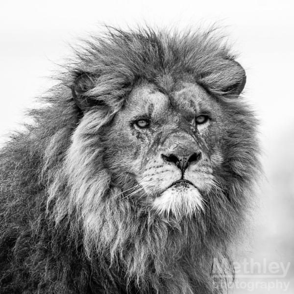 Lion by Philo