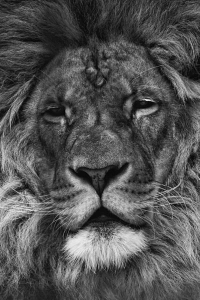 Lion King by CraigWalker