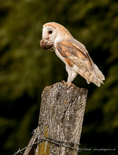 Barn Owl with Prey by pdsdigital