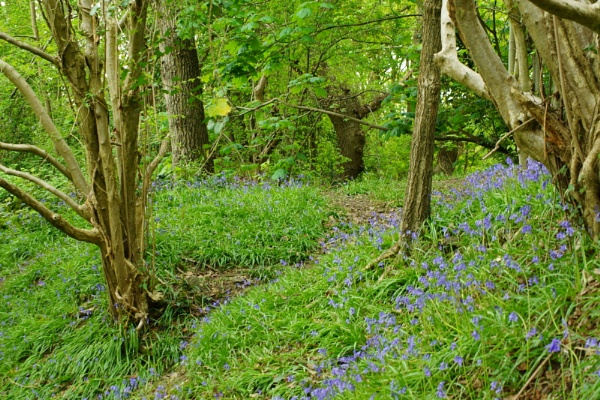 blue bell wood by christinecilia
