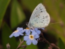 Holly Blue on Forget-Me-Not