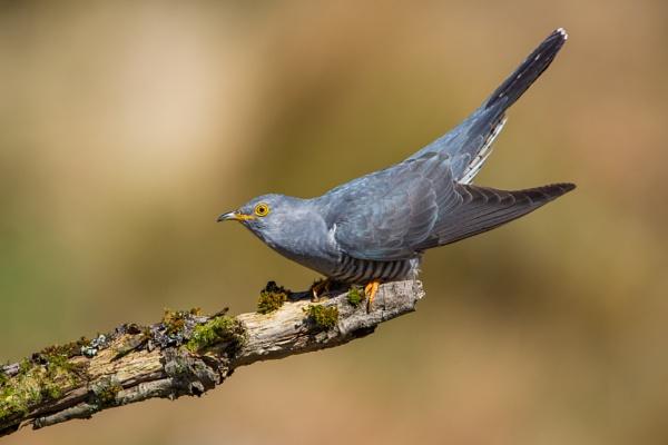 Cuckoo Portrait by KPnut