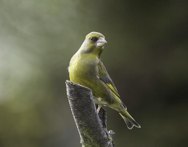 Greenfinch by 10delboy