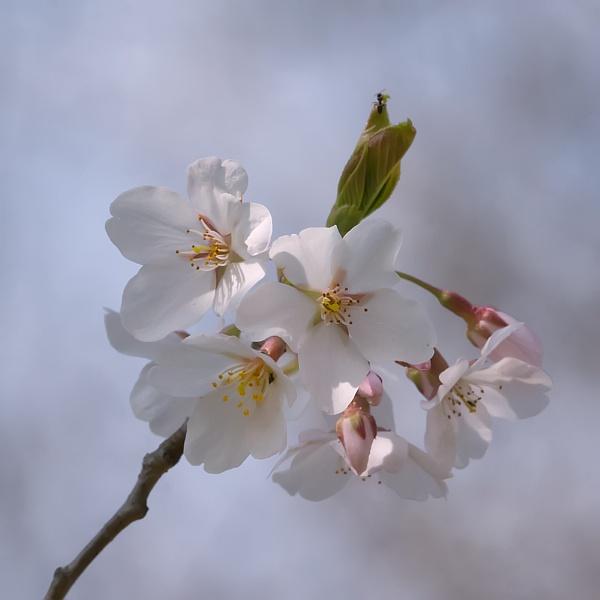 Yoshino Cherry Blossoms by taggart