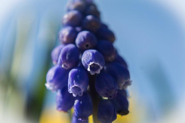 Grape hyacinth by Gillken