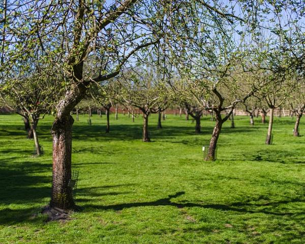 Apple Trees by hollkj
