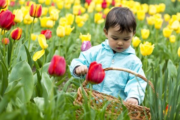 Adorable  toddler girl gathering tulips by tutye