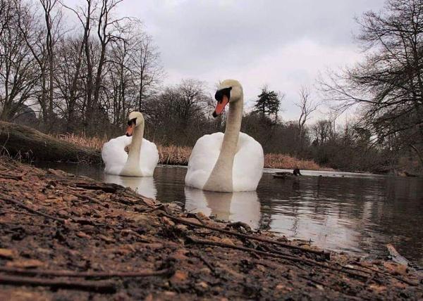 Swans by AnnHarrisskitt