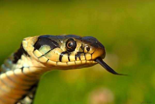 Snake by Nino812