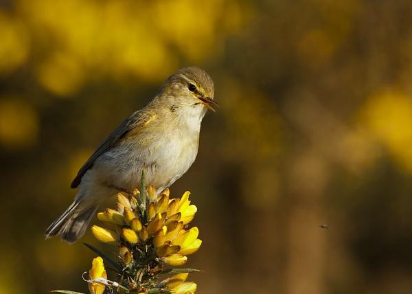 Willow Warbler (Phylloscopus trochilus) by DerekL