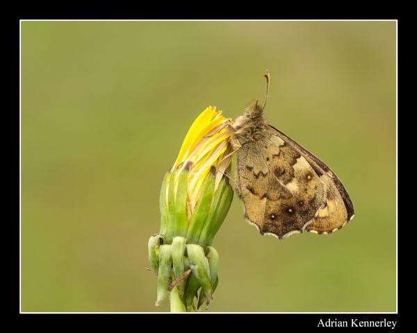 Butterflies 2015 No 10 by tomcat