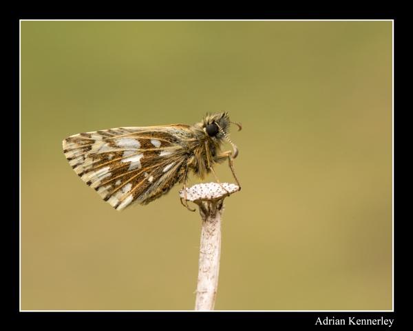 Butterflies 2015 No 11 by tomcat