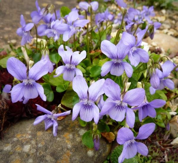 Spring Violets by BarbaraR