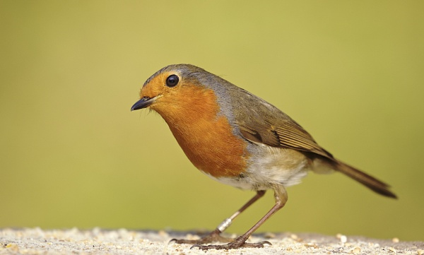 Red Robin by Granddad