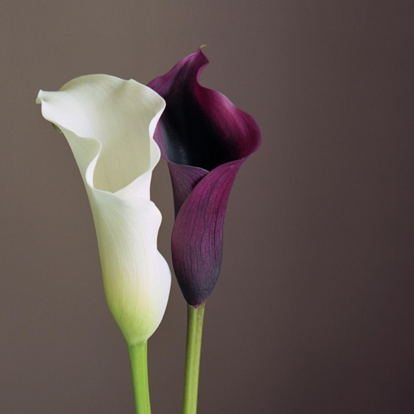 Two Calla Lillies by Andysnapper