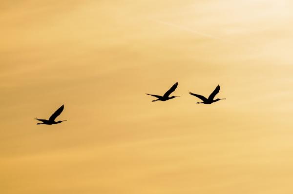spoonbills in flight by olafo