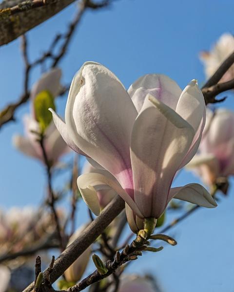 Magnolia by iancrowson
