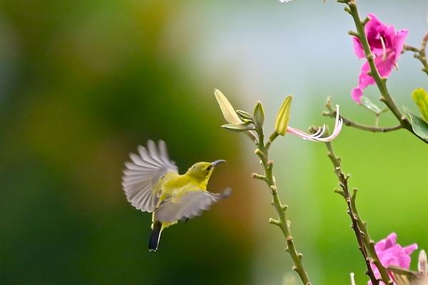 Humming Bird hovering by WimpyIskandar