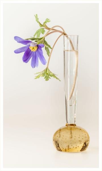 Anemone by DalesLass