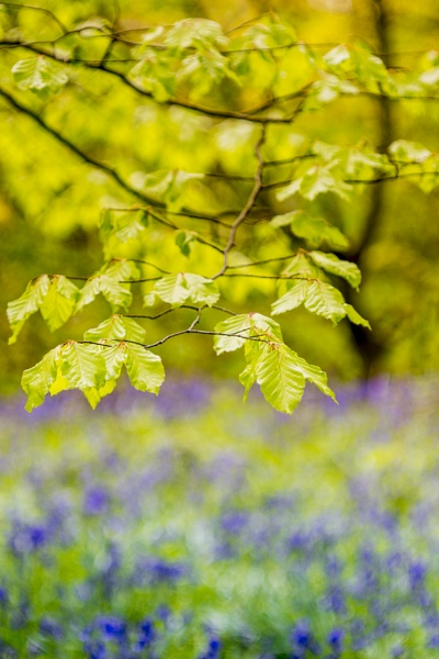 Bluebell and Beech by gowebgo