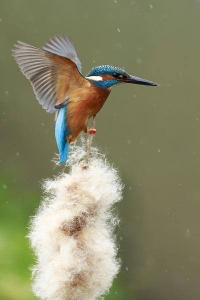 Male Common Kingfisher by pmeswani