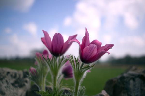 Pasque Flower (Pulsatilla) by dudders82