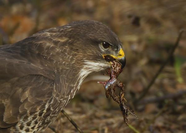 buzzard by GRAYCLEMENTS