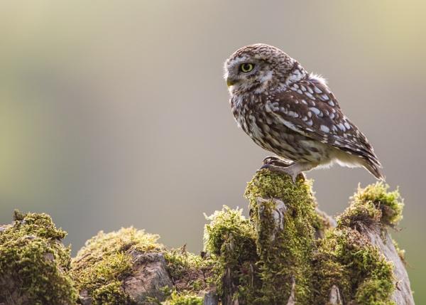 Early morning Little Owl by KPnut