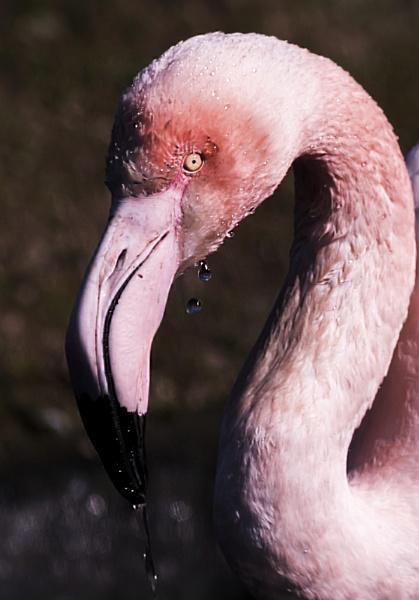 Flamingo by terryxc