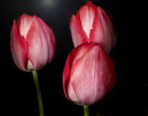 Tulips by martfaulkner