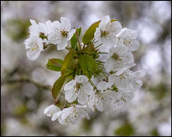 Blossom.... by boov