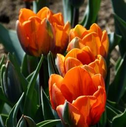 More painted tulips.  Princess Irene
