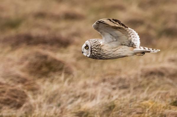 Short Eared Owl by Nigeve1